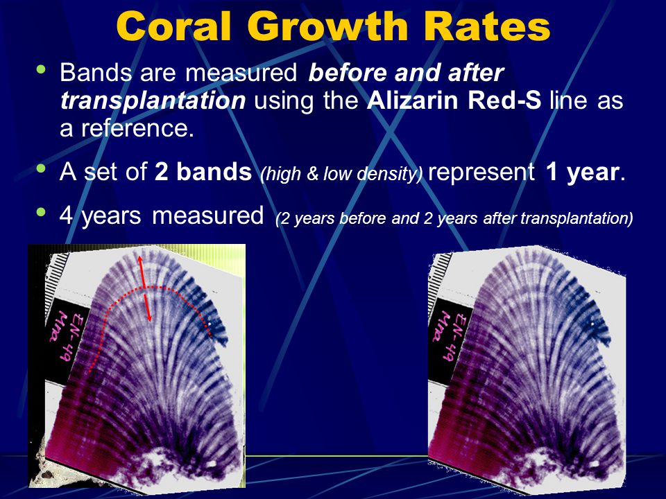 Coral Growth Rates Bands are measured before and after transplantation using the Alizarin Red-S line as a reference.