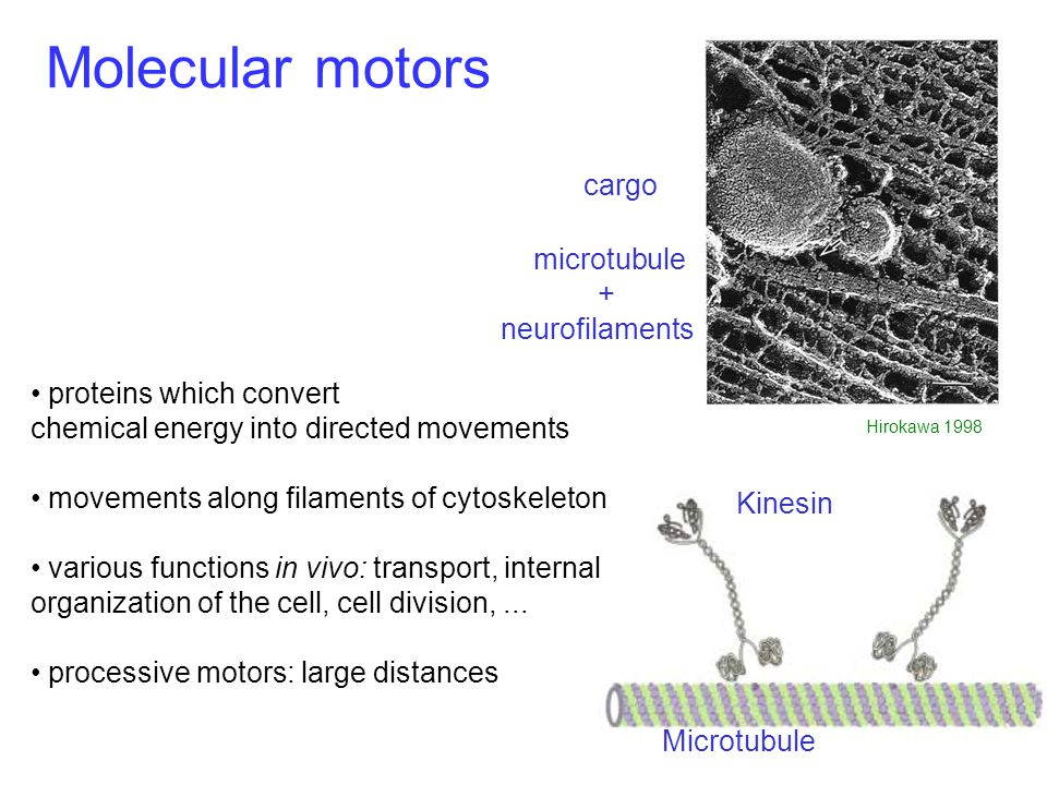 Molecular motors Kinesin Microtubule proteins which convert chemical energy into directed movements movements along filaments of cytoskeleton various functions in vivo: transport, internal organization of the cell, cell division,...
