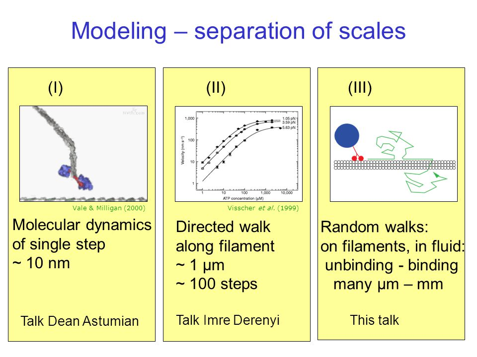 Modeling – separation of scales Directed walk along filament ~ 1 µm ~ 100 steps Talk Imre Derenyi Random walks: on filaments, in fluid: unbinding - binding many µm – mm This talk (I)(II)(III) Molecular dynamics of single step ~ 10 nm Vale & Milligan (2000)Visscher et al.
