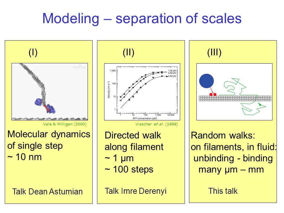 Modeling – separation of scales Directed walk along filament ~ 1 µm ~ 100 steps Talk Imre Derenyi Random walks: on filaments, in fluid: unbinding - bi