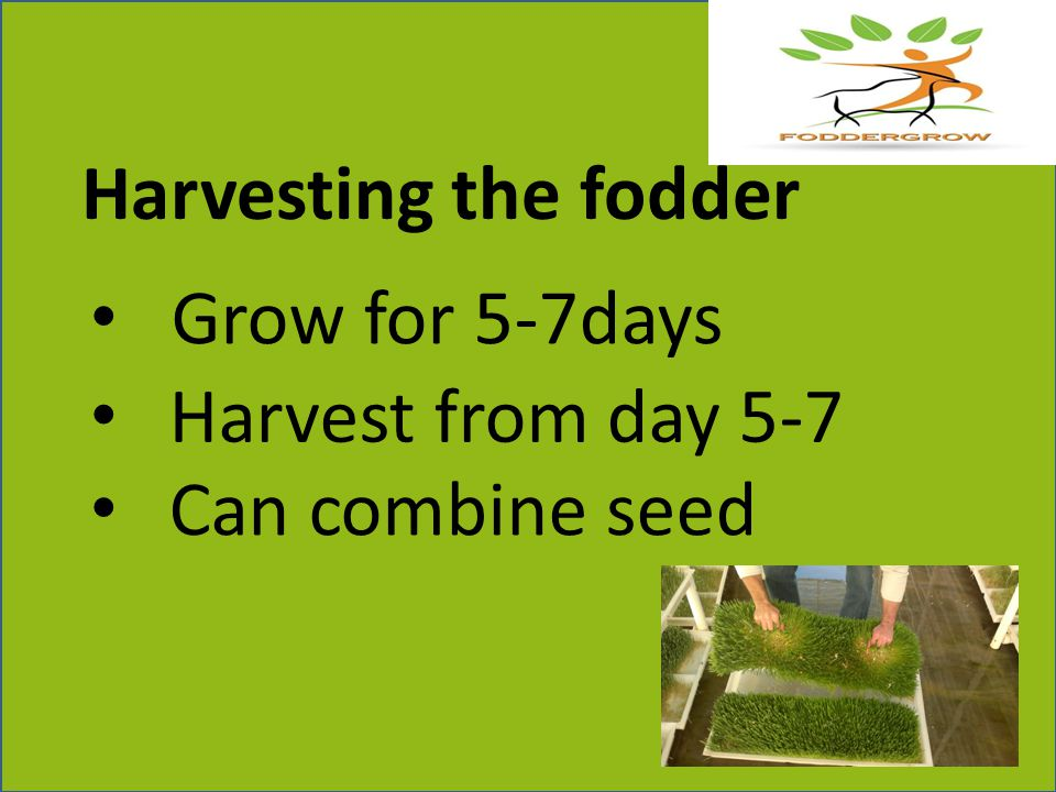 Harvesting the fodder Grow for 5-7days Harvest from day 5-7 Can combine seed
