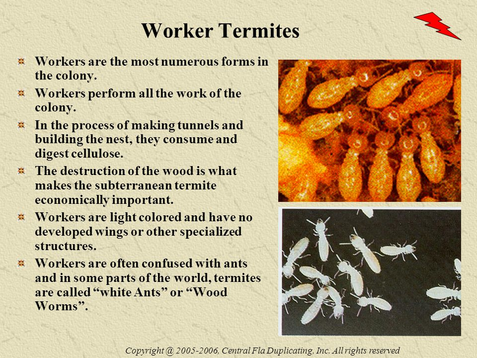 Worker Termites Workers are the most numerous forms in the colony.