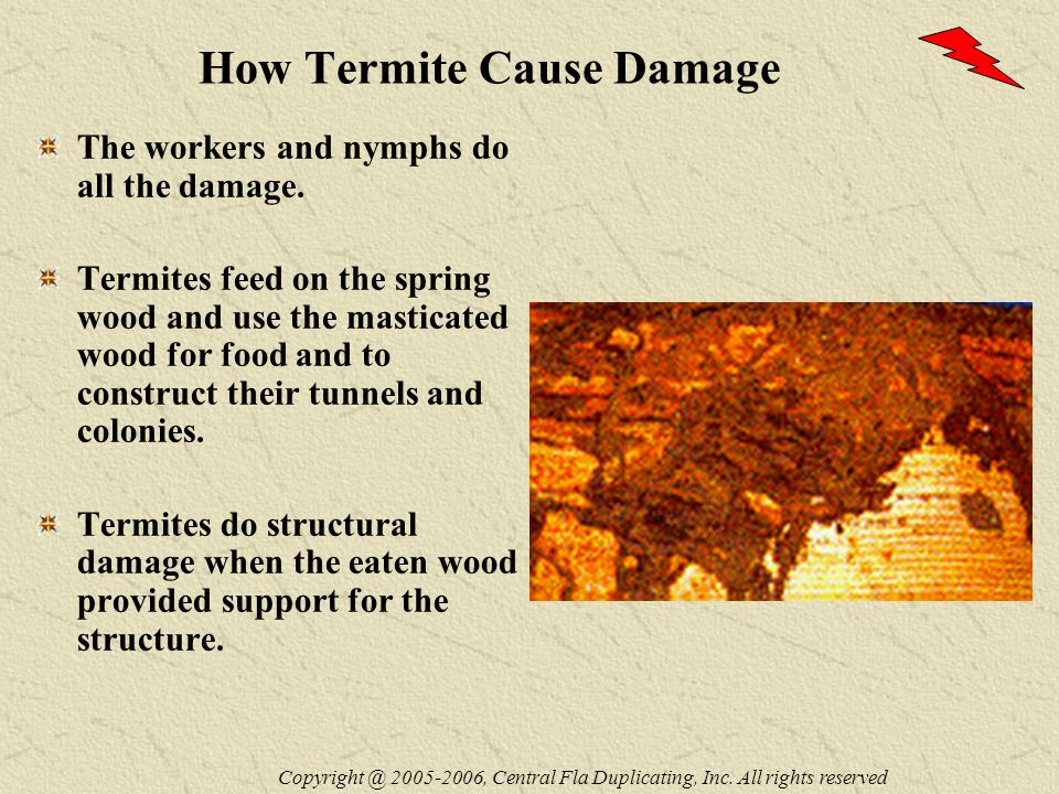 How Termite Cause Damage The workers and nymphs do all the damage.