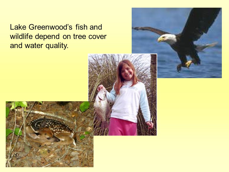 Lake Greenwood's fish and wildlife depend on tree cover and water quality.