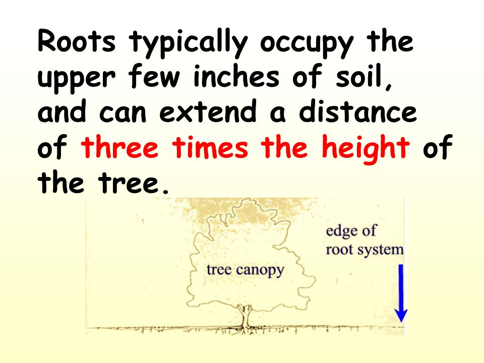 Roots typically occupy the upper few inches of soil, and can extend a distance of three times the height of the tree.