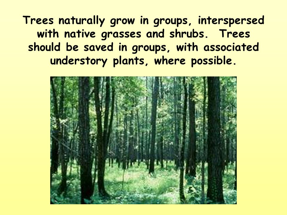 Trees naturally grow in groups, interspersed with native grasses and shrubs.