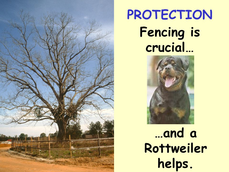 Fencing is crucial… …and a Rottweiler helps. PROTECTION