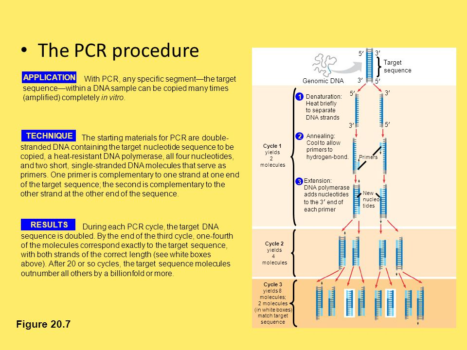 The PCR procedure Figure 20.7 Target sequence 5 3 5 Genomic DNA Cycle 1 yields 2 molecules Cycle 2 yields 4 molecules Cycle 3 yields 8 molecules; 2 mo