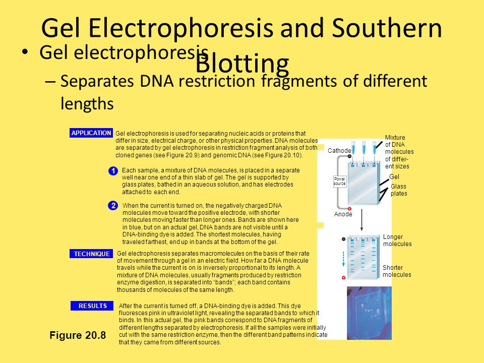 Gel Electrophoresis and Southern Blotting Gel electrophoresis – Separates DNA restriction fragments of different lengths Figure 20.8 APPLICATION 1 Eac