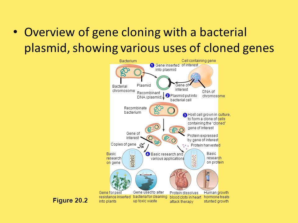 Overview of gene cloning with a bacterial plasmid, showing various uses of cloned genes Figure 20.2 Bacterium Bacterial chromosome Plasmid Cell contai