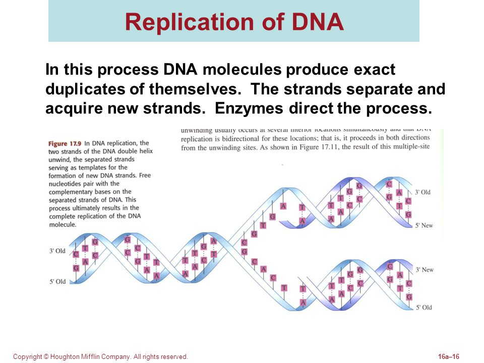 Copyright © Houghton Mifflin Company. All rights reserved.16a–16 Replication of DNA In this process DNA molecules produce exact duplicates of themselv