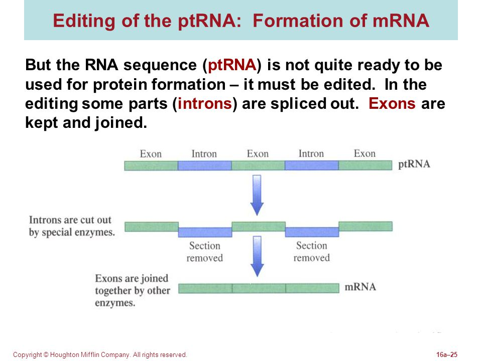 Copyright © Houghton Mifflin Company. All rights reserved.16a–25 Editing of the ptRNA: Formation of mRNA But the RNA sequence (ptRNA) is not quite rea