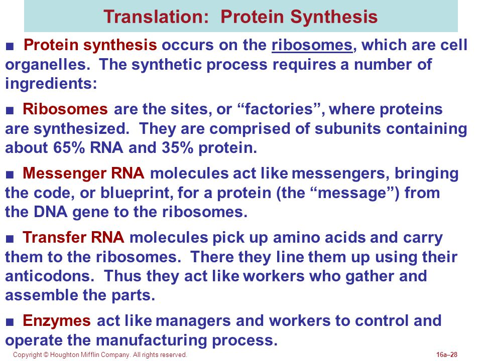 Copyright © Houghton Mifflin Company. All rights reserved.16a–28 Translation: Protein Synthesis ■ Protein synthesis occurs on the ribosomes, which are