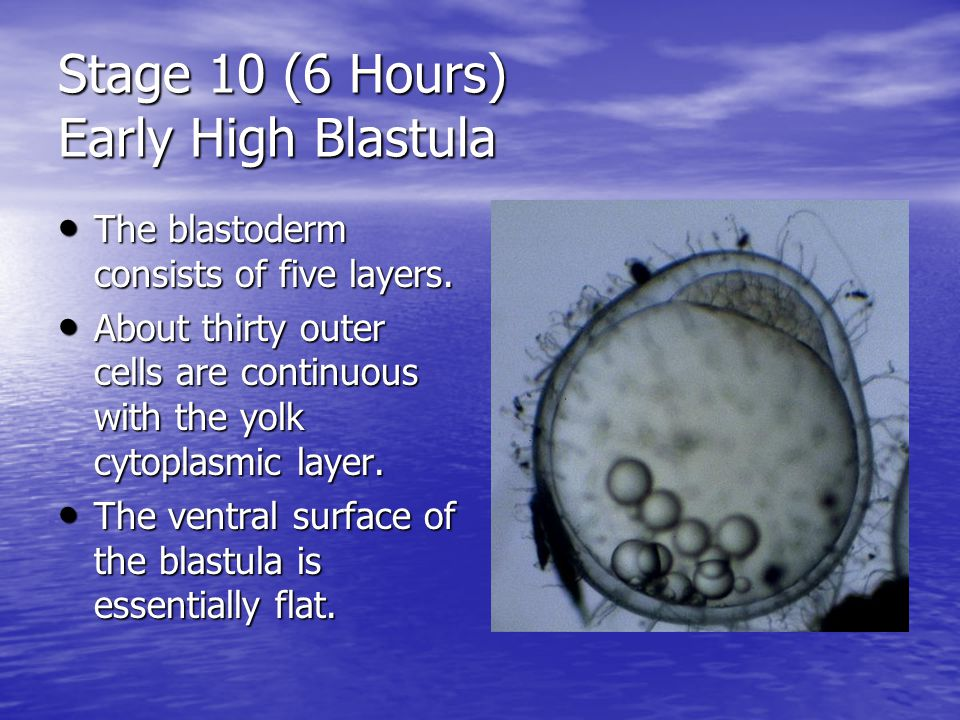 Stage 10 (6 Hours) Early High Blastula The blastoderm consists of five layers.