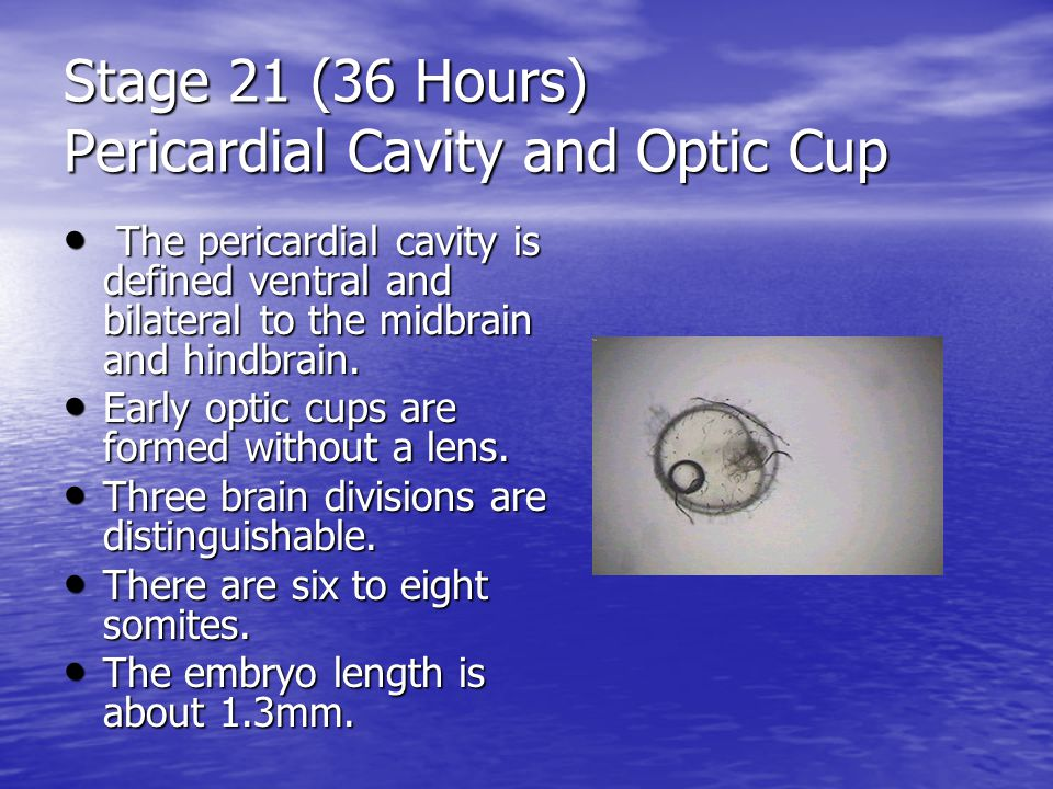 Stage 21 (36 Hours) Pericardial Cavity and Optic Cup The pericardial cavity is defined ventral and bilateral to the midbrain and hindbrain.