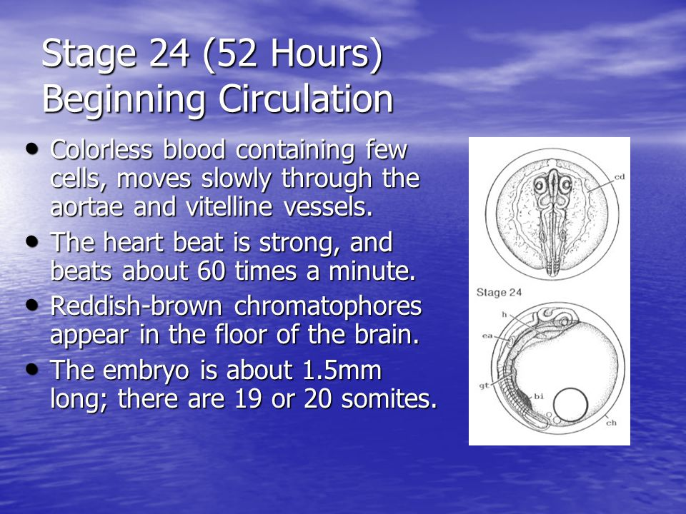 Stage 24 (52 Hours) Beginning Circulation Colorless blood containing few cells, moves slowly through the aortae and vitelline vessels.