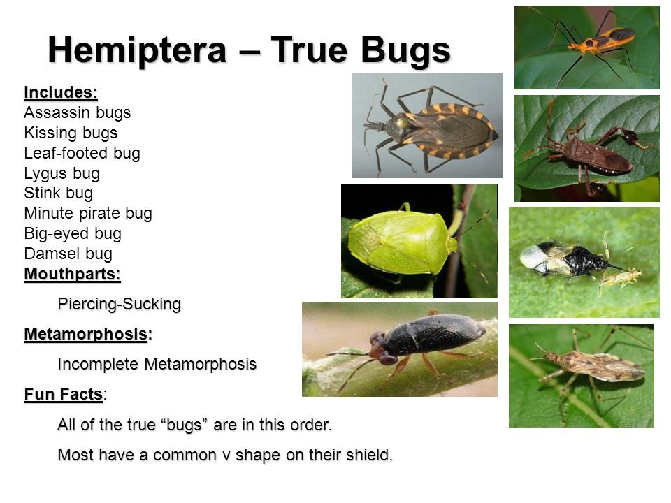 Hemiptera – True Bugs Includes: Assassin bugs Kissing bugs Leaf-footed bug Lygus bug Stink bug Minute pirate bug Big-eyed bug Damsel bugMouthparts:Piercing-Sucking Metamorphosis: Incomplete Metamorphosis Fun Facts: All of the true bugs are in this order.