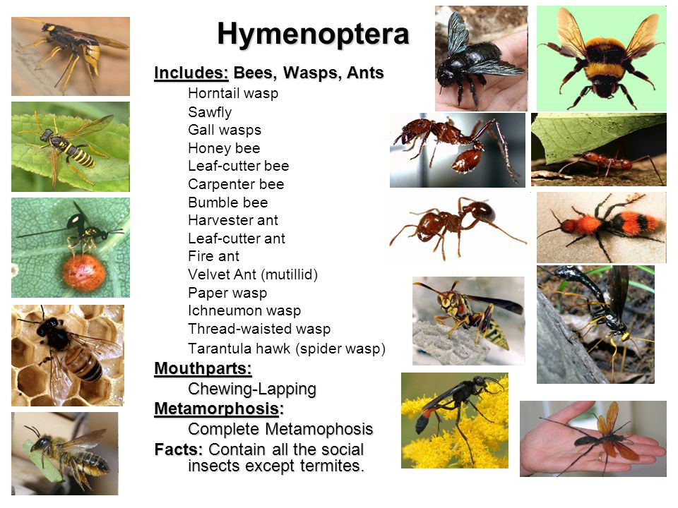 Hymenoptera Includes: Bees, Wasps, Ants Horntail wasp Sawfly Gall wasps Honey bee Leaf-cutter bee Carpenter bee Bumble bee Harvester ant Leaf-cutter ant Fire ant Velvet Ant (mutillid) Paper wasp Ichneumon wasp Thread-waisted wasp Tarantula hawk (spider wasp)Mouthparts:Chewing-Lapping Metamorphosis: Complete Metamophosis Facts: Contain all the social insects except termites.