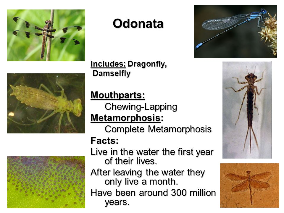 Odonata Includes: Dragonfly, Damselfly DamselflyMouthparts:Chewing-Lapping Metamorphosis: Complete Metamorphosis Facts: Live in the water the first year of their lives.