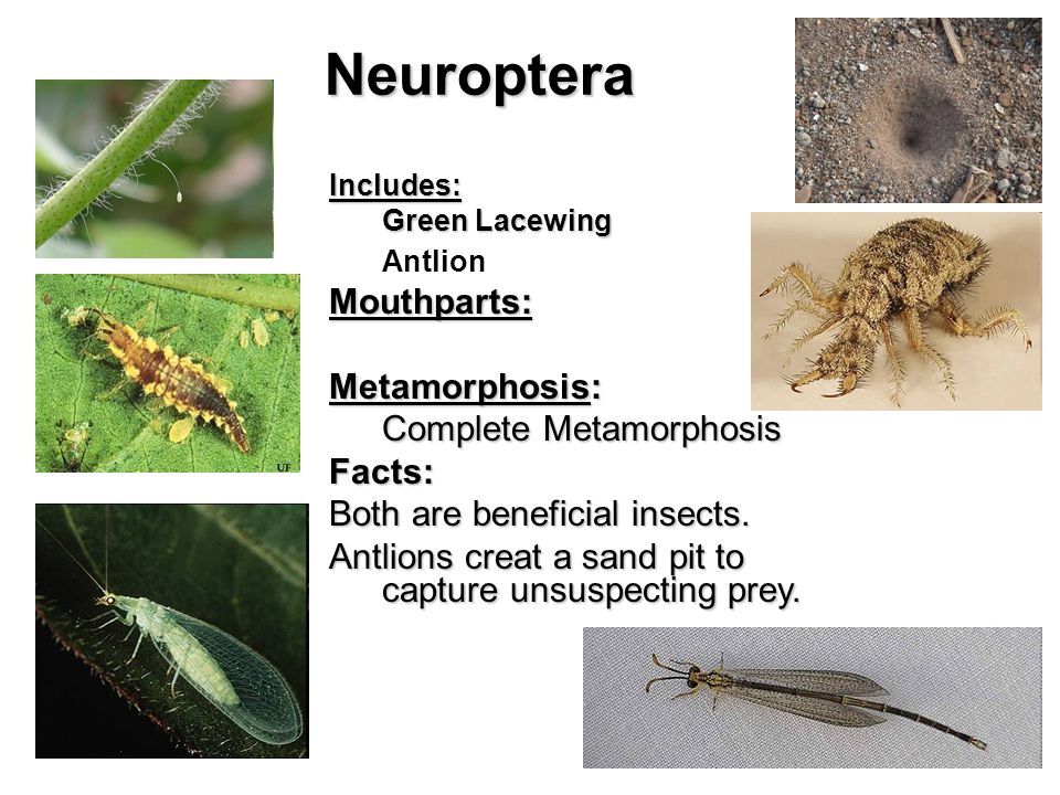 Neuroptera Includes: Green Lacewing AntlionMouthparts: Metamorphosis: Complete Metamorphosis Facts: Both are beneficial insects.