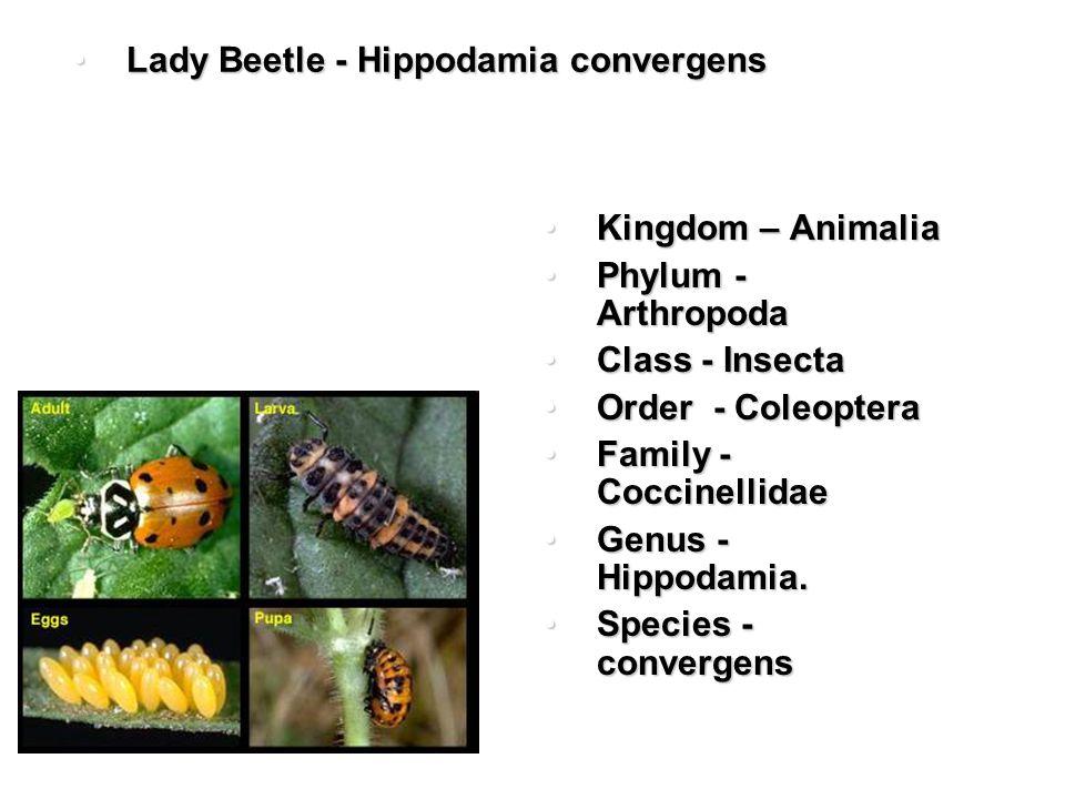 Lady Beetle - Hippodamia convergensLady Beetle - Hippodamia convergens Kingdom – AnimaliaKingdom – Animalia Phylum - ArthropodaPhylum - Arthropoda Class - InsectaClass - Insecta Order - ColeopteraOrder - Coleoptera Family - CoccinellidaeFamily - Coccinellidae Genus - Hippodamia.Genus - Hippodamia.