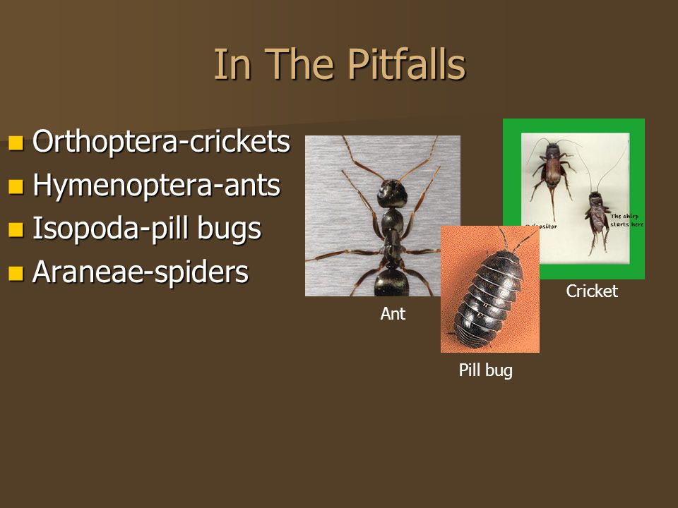 In The Pitfalls Orthoptera-crickets Orthoptera-crickets Hymenoptera-ants Hymenoptera-ants Isopoda-pill bugs Isopoda-pill bugs Araneae-spiders Araneae-spiders Ant Pill bug Cricket