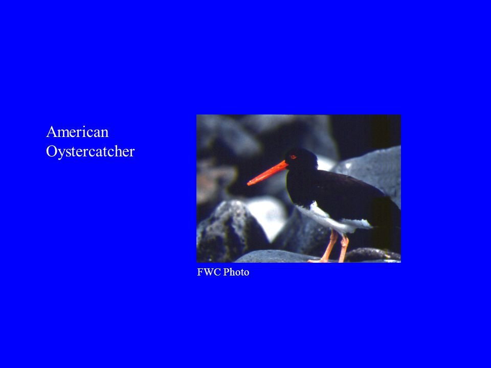 American Oystercatcher FWC Photo