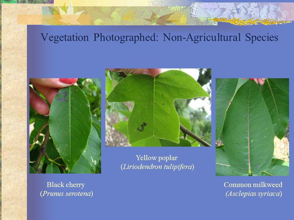 Vegetation Photographed: Non-Agricultural Species Black cherry (Prunus serotena) Common milkweed (Asclepias syriaca) Yellow poplar (Liriodendron tulipifera)