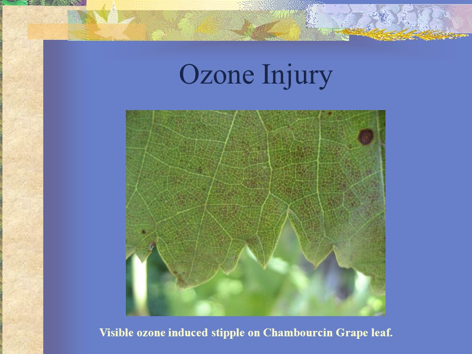 Visible ozone induced stipple on Chambourcin Grape leaf. Ozone Injury