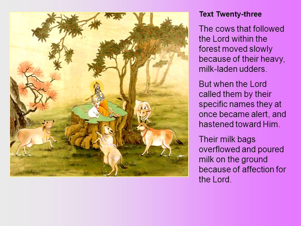 Text Twenty-three The cows that followed the Lord within the forest moved slowly because of their heavy, milk-laden udders.