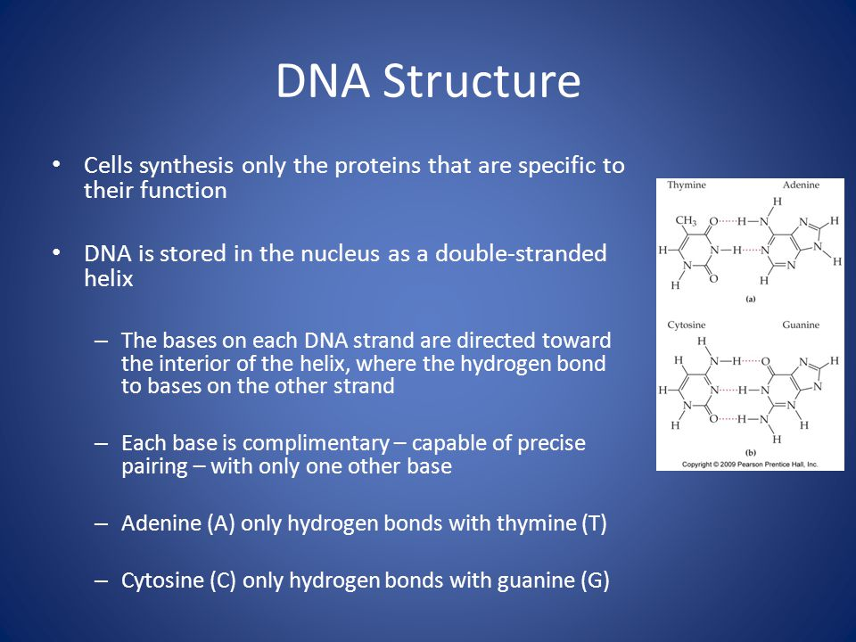 DNA Structure Cells synthesis only the proteins that are specific to their function DNA is stored in the nucleus as a double-stranded helix – The bases on each DNA strand are directed toward the interior of the helix, where the hydrogen bond to bases on the other strand – Each base is complimentary – capable of precise pairing – with only one other base – Adenine (A) only hydrogen bonds with thymine (T) – Cytosine (C) only hydrogen bonds with guanine (G)