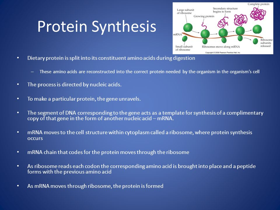 Protein Synthesis Dietary protein is split into its constituent amino acids during digestion – These amino acids are reconstructed into the correct protein needed by the organism in the organism's cell The process is directed by nucleic acids.