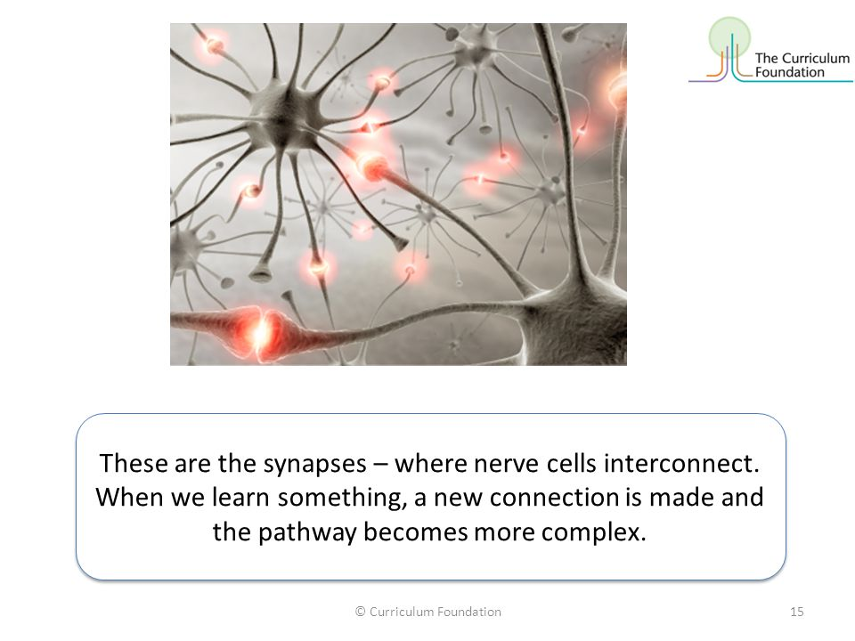 © Curriculum Foundation15 These are the synapses – where nerve cells interconnect. When we learn something, a new connection is made and the pathway b