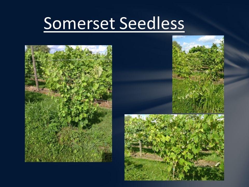Somerset Seedless