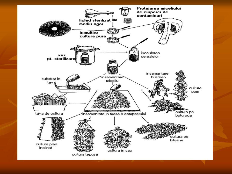 Rhizopus nigricans=mucegaiul negru