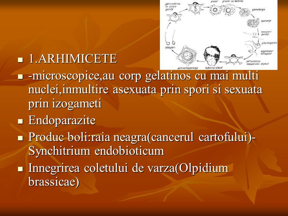 1.ARHIMICETE 1.ARHIMICETE -microscopice,au corp gelatinos cu mai multi nuclei,inmultire asexuata prin spori si sexuata prin izogameti -microscopice,au corp gelatinos cu mai multi nuclei,inmultire asexuata prin spori si sexuata prin izogameti Endoparazite Endoparazite Produc boli:raia neagra(cancerul cartofului)- Synchitrium endobioticum Produc boli:raia neagra(cancerul cartofului)- Synchitrium endobioticum Innegrirea coletului de varza(Olpidium brassicae) Innegrirea coletului de varza(Olpidium brassicae)