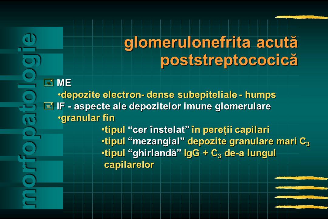  ME depozite electron- dense subepiteliale - humpsdepozite electron- dense subepiteliale - humps  IF - aspecte ale depozitelor imune glomerulare granular fingranular fin tipul cer înstelat în pereţii capilaritipul cer înstelat în pereţii capilari tipul mezangial depozite granulare mari C 3tipul mezangial depozite granulare mari C 3 tipul ghirlandă IgG + C 3 de-a lungultipul ghirlandă IgG + C 3 de-a lungul capilarelor capilarelor morfopatologie glomerulonefrita acută poststreptococică