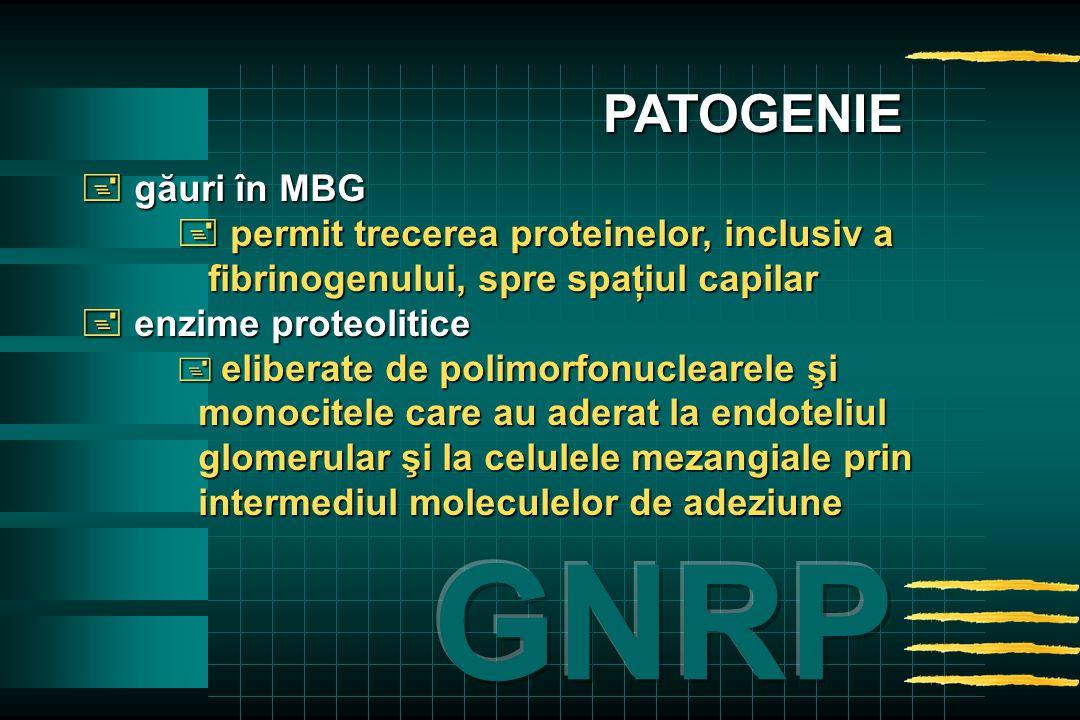  găuri în MBG  permit trecerea proteinelor, inclusiv a fibrinogenului, spre spaţiul capilar  enzime proteolitice  eliberate de polimorfonuclearele şi monocitele care au aderat la endoteliul glomerular şi la celulele mezangiale prin intermediul moleculelor de adeziune