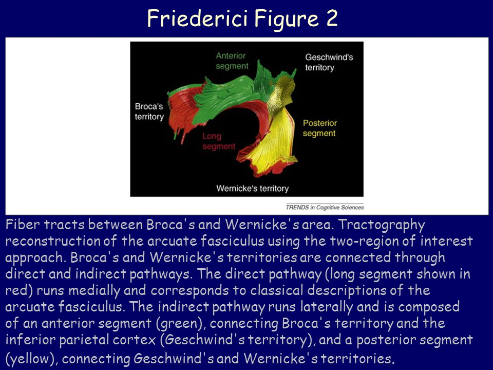 Friederici Figure 2 Fiber tracts between Broca s and Wernicke s area.