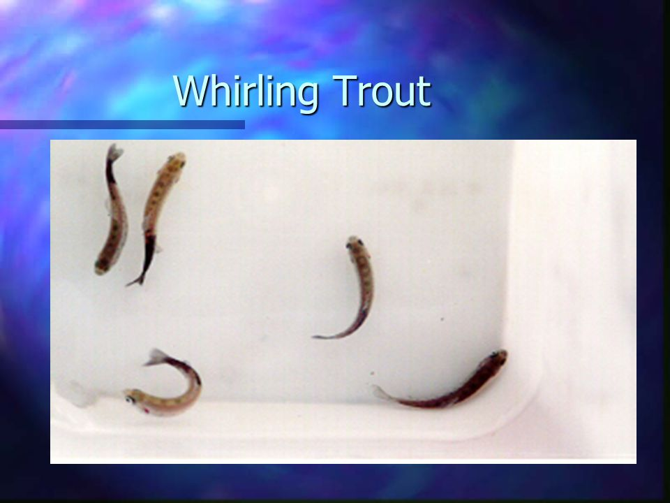 Whirling Trout