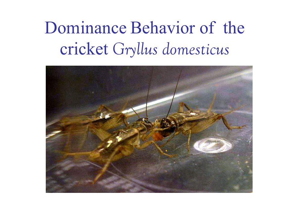 Dominance Behavior of the cricket Gryllus domesticus
