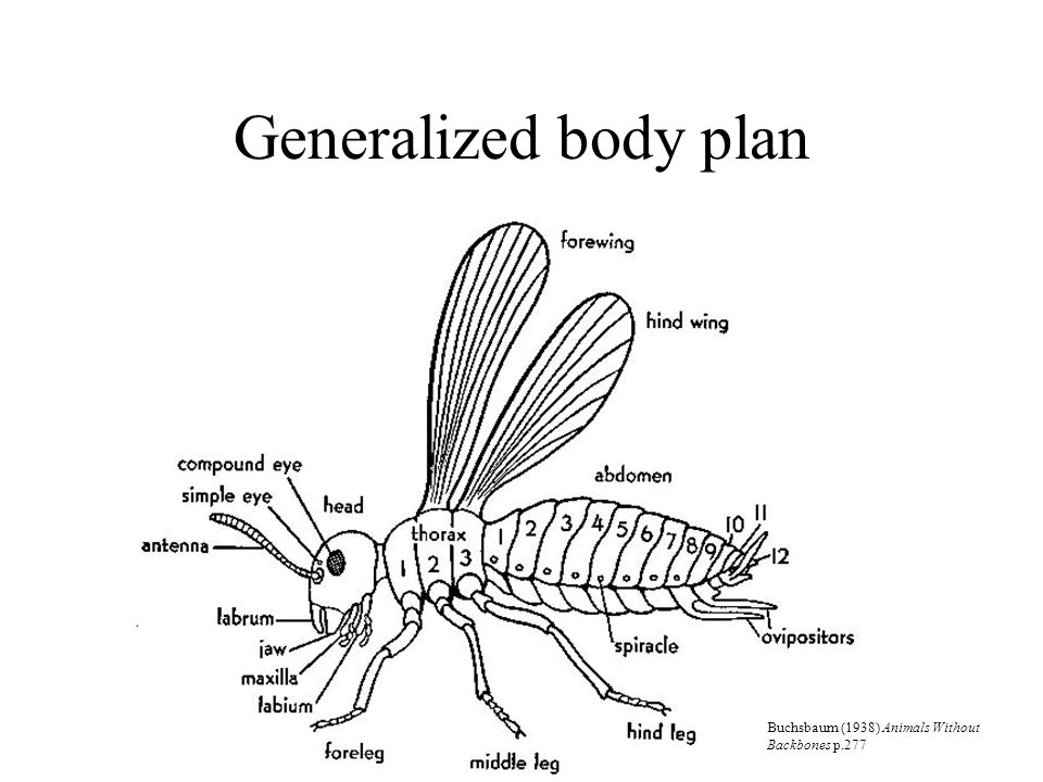 Generalized body plan Buchsbaum (1938) Animals Without Backbones p.277