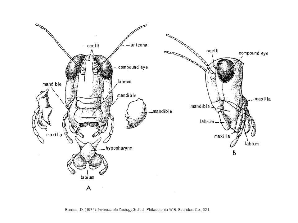 Barnes,.D. (1974). Invertebrate Zoology,3rd ed., Philadelphia: W.B. Saunders Co., 621.