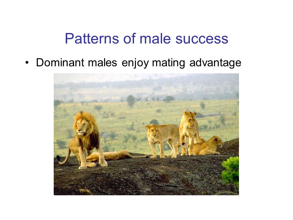 Patterns of male success Dominant males enjoy mating advantage