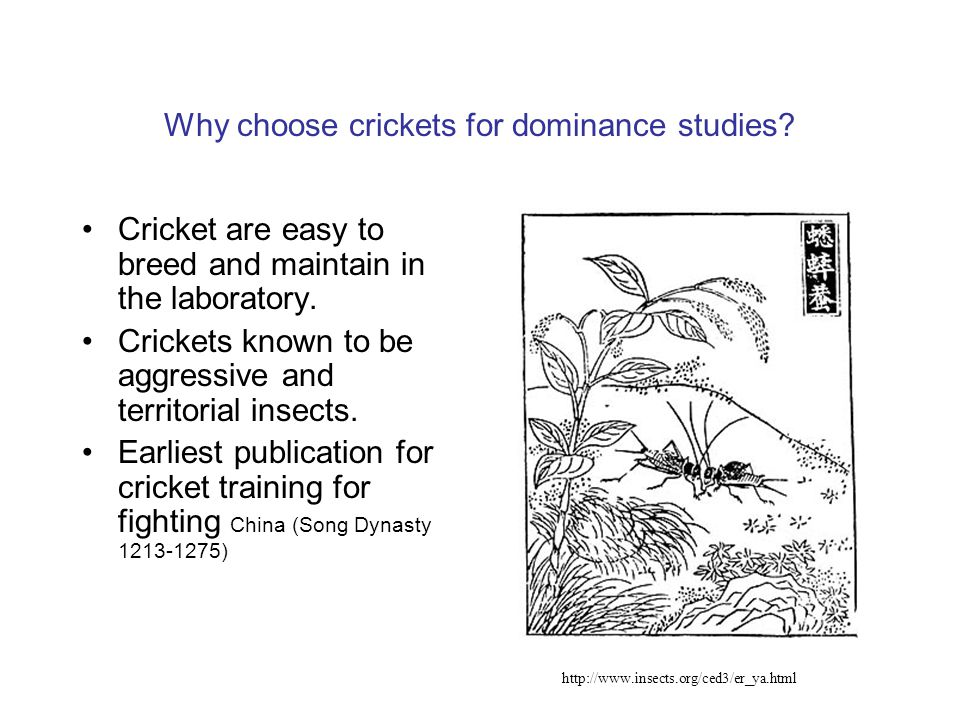 Why choose crickets for dominance studies.