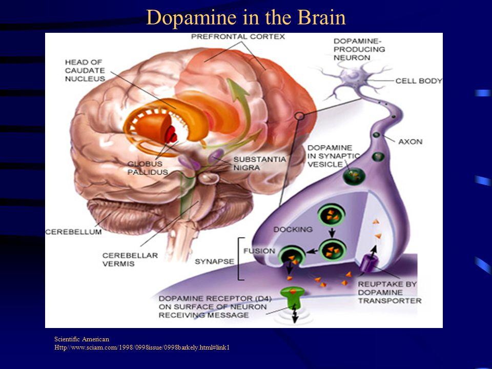 Scientific American Http//www.sciam.com/1998/0998issue/0998barkely.html#link1 Dopamine in the Brain
