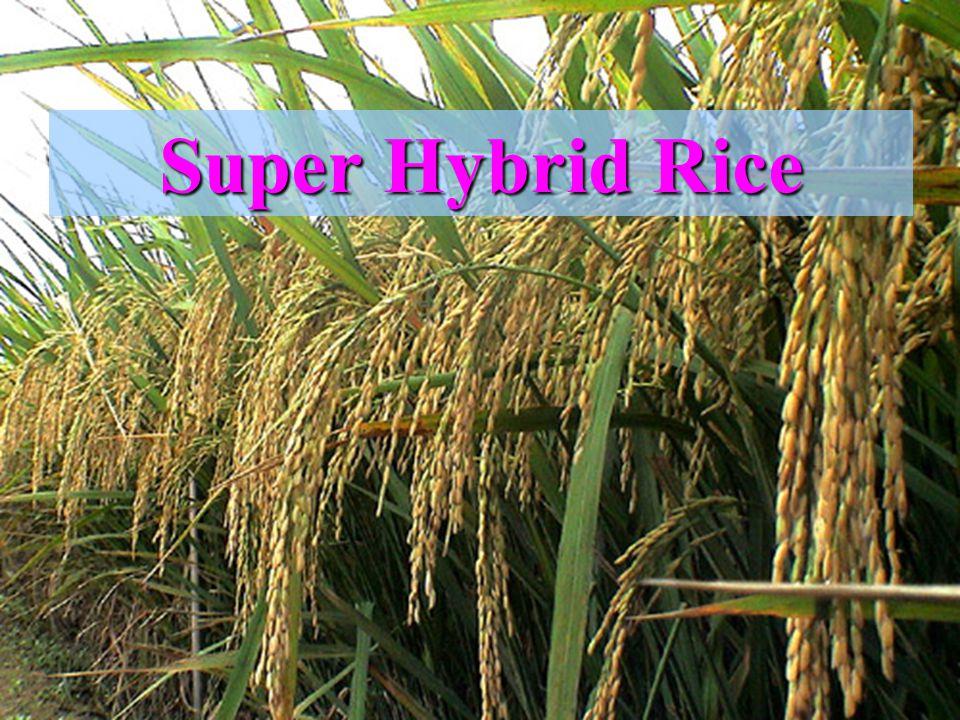 Super Hybrid Rice