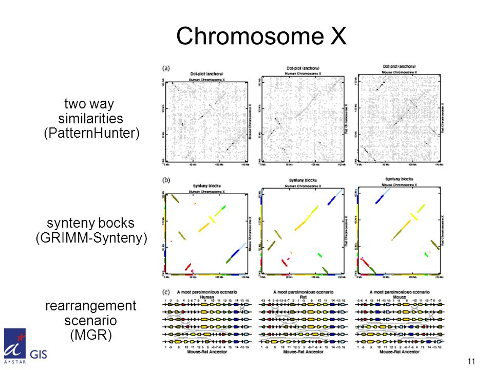 11 Chromosome X two way similarities (PatternHunter) synteny bocks (GRIMM-Synteny) rearrangement scenario (MGR)