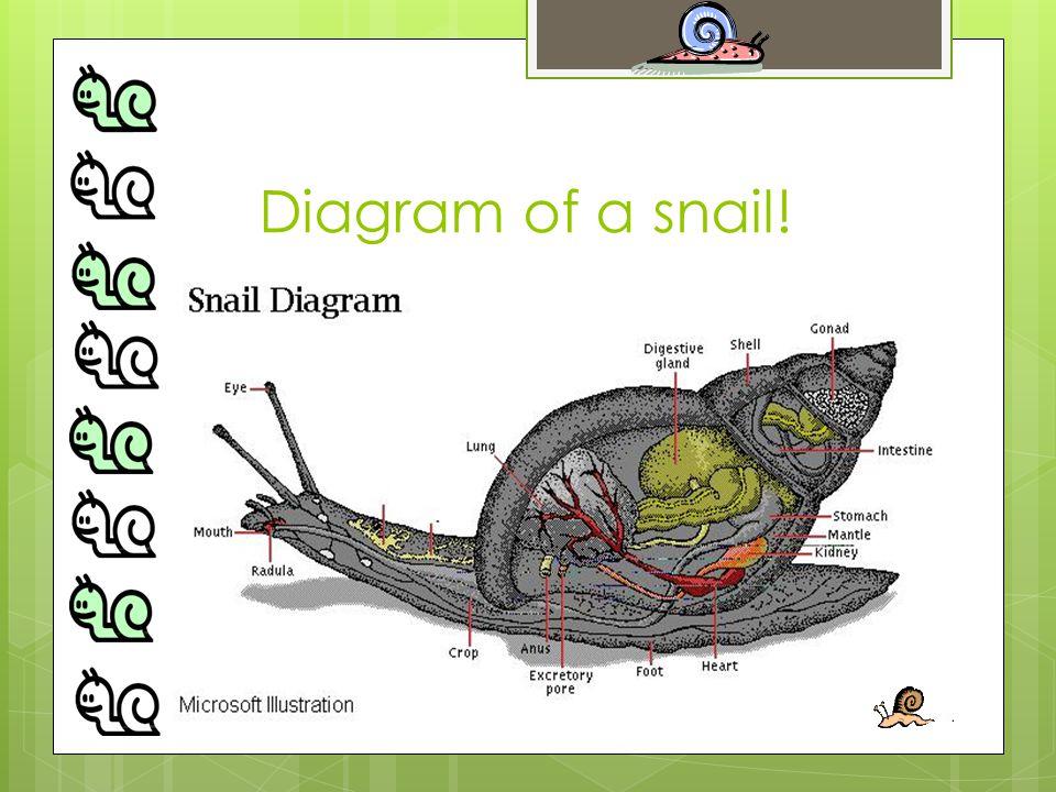 Diagram of a snail!