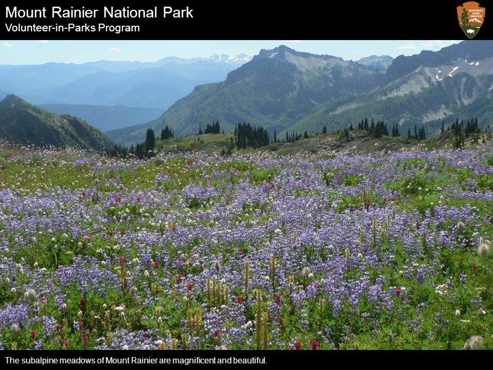 Mount Rainier National Park Volunteer-in-Parks Program The subalpine meadows of Mount Rainier are magnificent and beautiful.